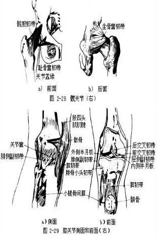 踝关节的结构组成